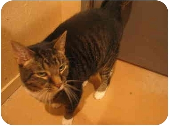 Domestic Shorthair Cat for adoption in Marion, Wisconsin - Chatty Cat