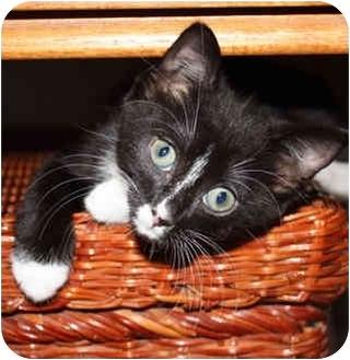 Domestic Shorthair Kitten for adoption in Tampa, Florida - Rena