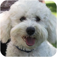 Bichon Frise Mix Dog for adoption in La Costa, California - Charger (Cassidy)