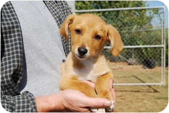 Dachshund/Beagle Mix Puppy for adoption in Bunkie, Louisiana - Bailey