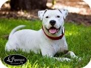 American Bulldog Dog for adoption in Orlando, Florida - Buzz Lightyear