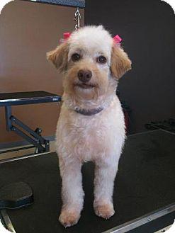 Cockapoo Mix Dog for adoption in Odessa, Florida - MADDIE