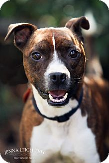 Boston Terrier Mix Dog for adoption in Jersey City, New Jersey - BOBBY FLAY