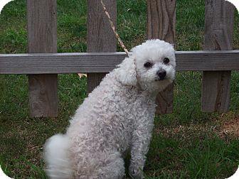 Bichon Frise/Poodle (Miniature) Mix Dog for adoption in Stockton, California - Delilah