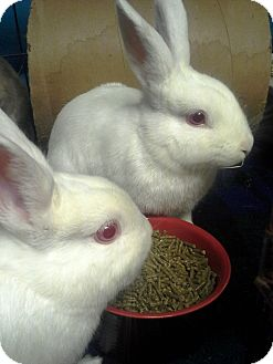 Dwarf Mix for adoption in Edinburg, Pennsylvania - Daisy and Sage