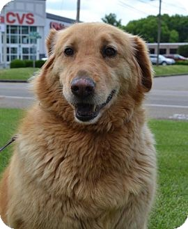 Golden Retriever Mix Dog for adoption in Knoxville, Tennessee - Zadie