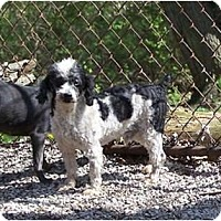 Adopt A Pet :: Regis DARLING AND TINY1 - Antioch, IL