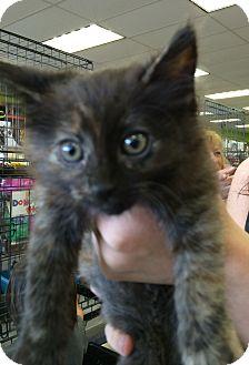 Maine Coon Kitten for adoption in Cerritos, California - Annie