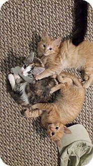 Domestic Mediumhair Kitten for adoption in Coeburn, Virginia - Kittens