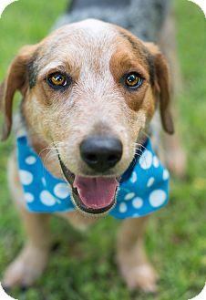 Basset Hound/Blue Heeler Mix Dog for adoption in Glastonbury, Connecticut - Romeo