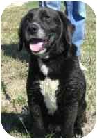 Labrador Retriever/Hound (Unknown Type) Mix Dog for adoption in Frankfort, Illinois - Buckles