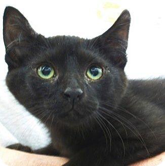 Domestic Shorthair Kitten for adoption in Castro Valley, California - Sequoyah