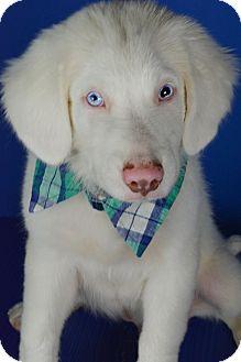 Australian Shepherd Mix Puppy for adoption in Glastonbury, Connecticut - Rock Hudson