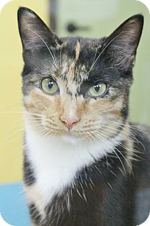 Domestic Shorthair Cat for adoption in Benbrook, Texas - Francine