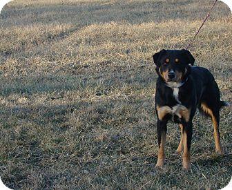 Border Collie/Shepherd (Unknown Type) Mix Dog for adoption in Cameron, Missouri - Porter