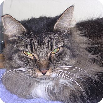 Maine Coon Cat for adoption in DeLand, Florida - Oreo