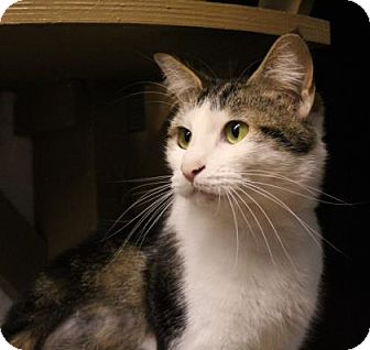 Domestic Shorthair Cat for adoption in West Des Moines, Iowa - Danika