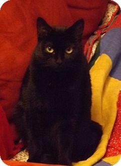 Bombay Cat for adoption in Salem, Oregon - Poppy