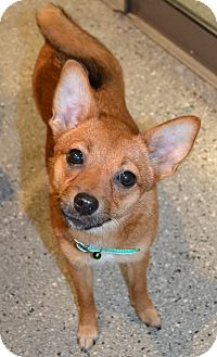 Chihuahua/Chow Chow Mix Dog for adoption in Michigan City, Indiana - Rosie