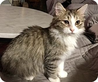 Maine Coon Kitten for adoption in Houston, Texas - Cindy Lou