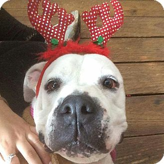 American Bulldog Mix Dog for adoption in Tomball, Texas - Hank