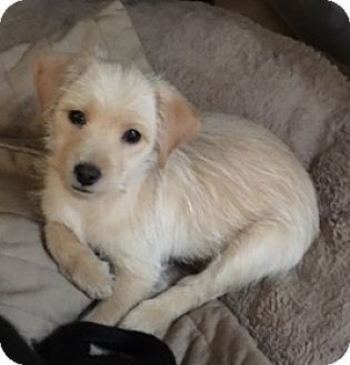 Terrier (Unknown Type, Small) Mix Puppy for adoption in Schaumburg, Illinois - Taffy-no new applications