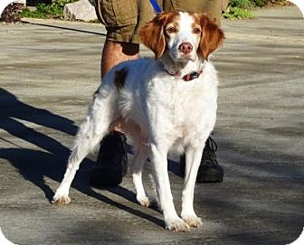 Brittany Dog for adoption in Lathrop, California - Posey