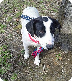 Beagle/Labrador Retriever Mix Puppy for adoption in Princeton, Kentucky - SPOT