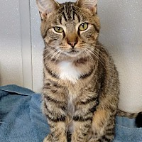 Domestic Shorthair Cat for adoption in Fremont, Ohio - Nike