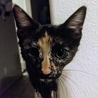 Adopt A Pet :: Michonne - Lancaster, CA