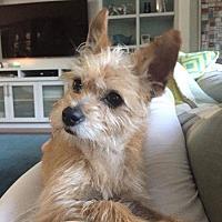 Adopt A Pet :: Yogi - Redondo Beach, CA