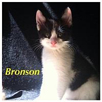 Adopt A Pet :: Kitten - Bronson - Napa, CA