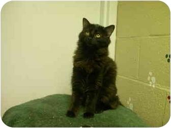 Domestic Longhair Kitten for adoption in Saanichton, British Columbia - Chiquita