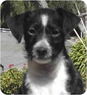 Poodle (Miniature)/Terrier (Unknown Type, Small) Mix Puppy for adoption in El Segundo, California - Riley