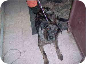 Australian Shepherd/Labrador Retriever Mix Dog for adoption in Gladwin, Michigan - Sugar