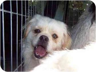 Pekingese/Schipperke Mix Dog for adoption in Sherman Oaks, California - Jasper