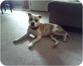 Pit Bull Terrier Mix Dog for adoption in Cherry Hill, New Jersey - Roxy