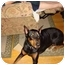 Photo 1 - Doberman Pinscher Dog for adoption in Arlington, Virginia - Ginger