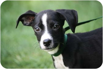 Border Collie Mix Puppy for adoption in West Milford, New Jersey - HUCK