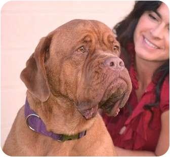 Dogue de Bordeaux/Dogue de Bordeaux Mix Dog for adoption in Phoenix, Arizona - Betty Page