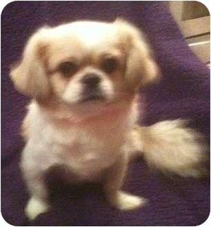 Pekingese Mix Dog for adoption in Temecula, California - Max