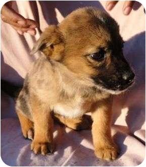 Plott Hound/Shepherd (Unknown Type) Mix Puppy for adoption in P, Maine - Spatter