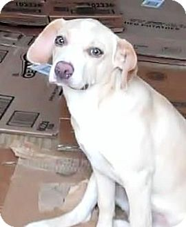 Beagle/Labrador Retriever Mix Puppy for adoption in New Jersey, New Jersey - NJ - Nikki