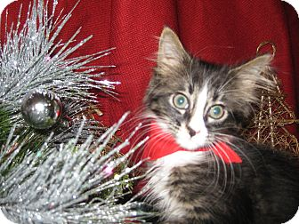 Domestic Mediumhair Kitten for adoption in Clearfield, Utah - Cavaleer