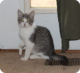 American Shorthair Kitten for adoption in Plainfield, Connecticut - Harold
