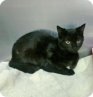 Domestic Shorthair Kitten for adoption in bridgeport, Connecticut - Violet