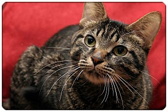 Domestic Shorthair Cat for adoption in Sterling Heights, Michigan - Lacy - ADOPTED!