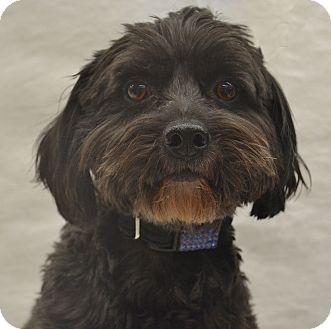Poodle (Miniature)/Schnauzer (Miniature) Mix Dog for adoption in Bridgeton, Missouri - Max