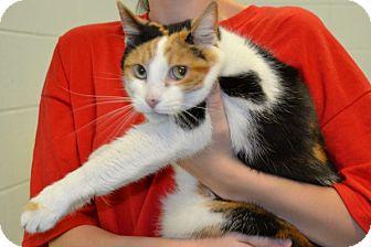 Domestic Shorthair Cat for adoption in Elyria, Ohio - Bobbi