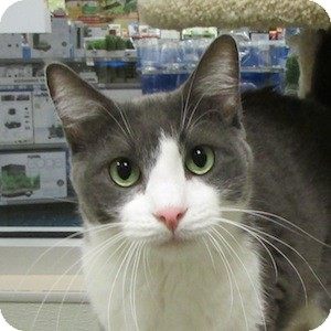 Domestic Shorthair Cat for adoption in Gilbert, Arizona - Oliver